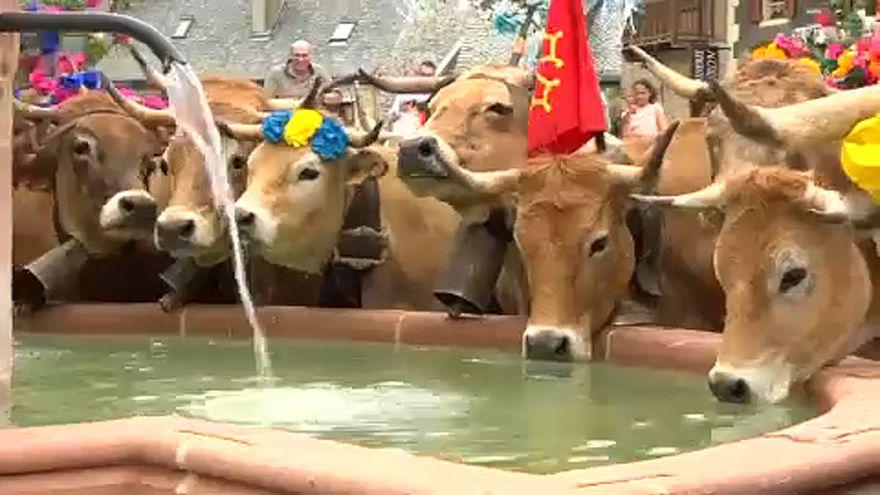 Fejdíszes tehenek vonultak Dél-Franciaországban