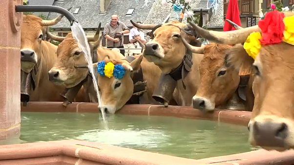 Красивые, как коровы