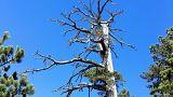 Το γηραιότερο δέντρο της Ευρώπης που «έκλεψε» τον τίτλο από τον ελληνικό «Άδωνι»