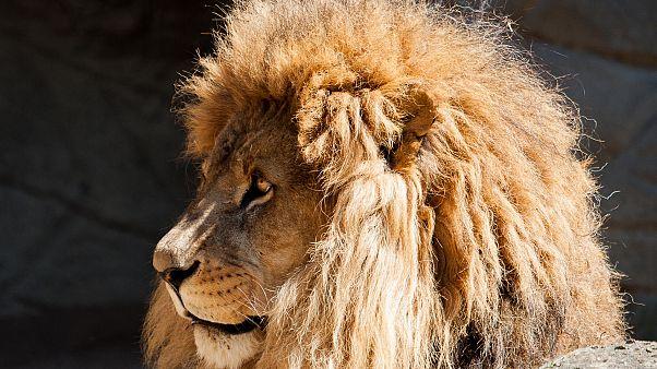 Fehlalarm im Eifel-Zoo: Raubtiere hatten Gehege doch nicht verlassen