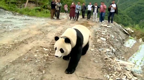 Гигантская панда прогулялась по деревне