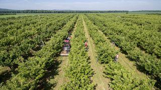 Cseresznyét szüretelnek Palkonya közelében