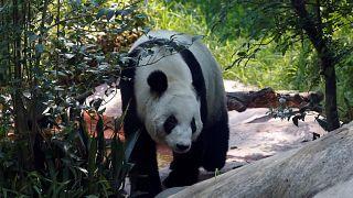 Nez-à-nez avec un panda géant