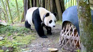 باندا عملاقة تفاجئ سكان قرية صينية بزيارة غير متوقعة!
