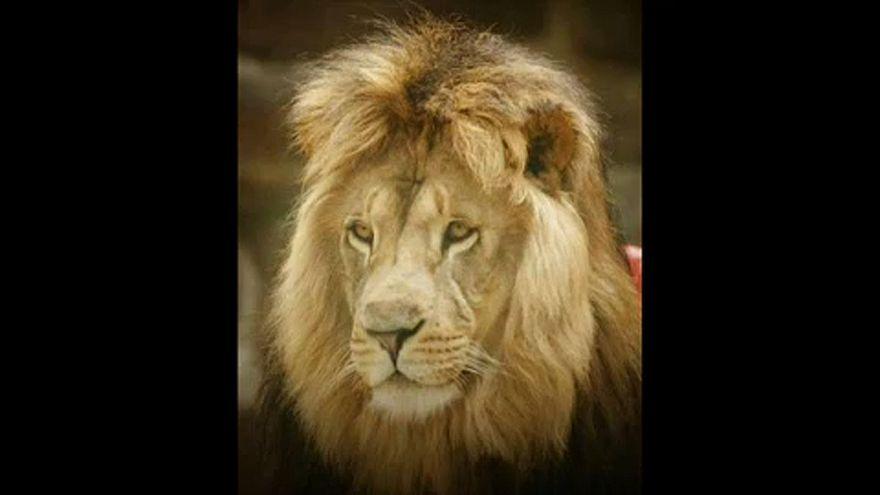 Tigrisek és oroszlánok szabadultak ki egy vihar után