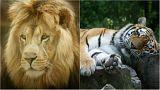 نمر وأسد