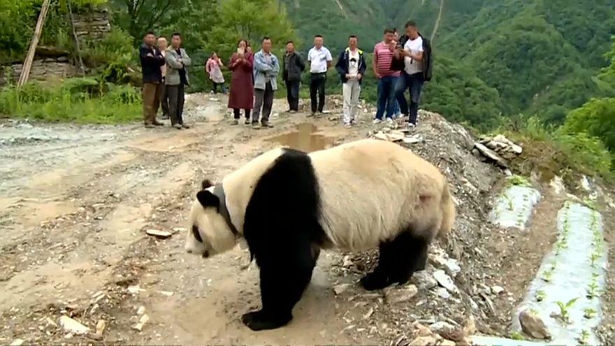 Çin'de köylülerin davetsiz misafiri: Sevimli panda