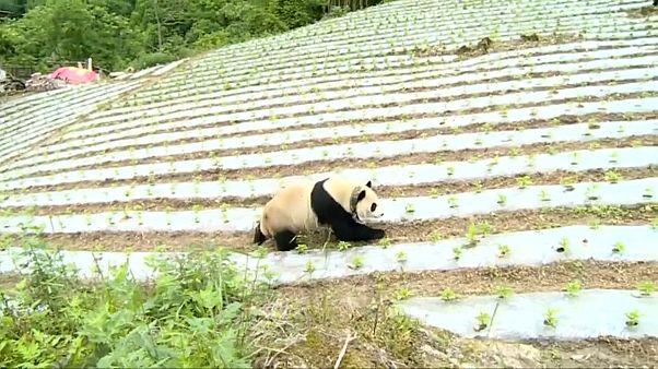 Quando um panda gigante visita a aldeia