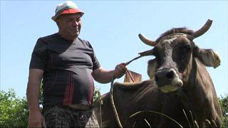 Спасти корову Пенку