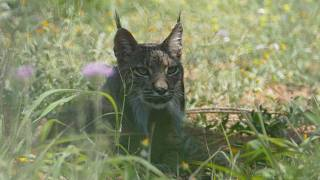 Endangered Iberian lynx spotted in Catalonia for first time in over 100 years