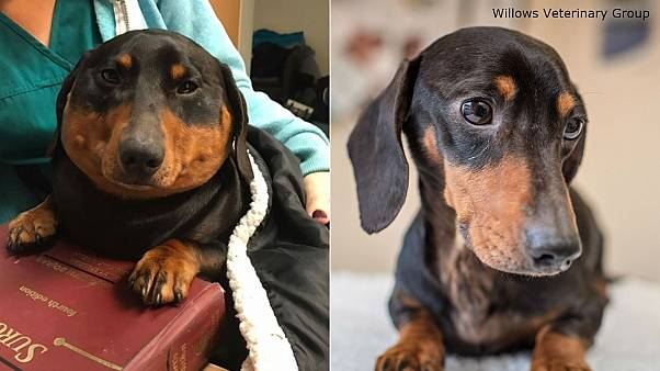 Sausage dog's windpipe injury causes him to 'blow up like a balloon'