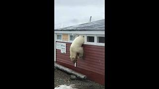 Jegesmedve járt egy szállodában
