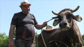 Bulgarian Ivan Haralampiev forced to part with his pregnant cow, Penka