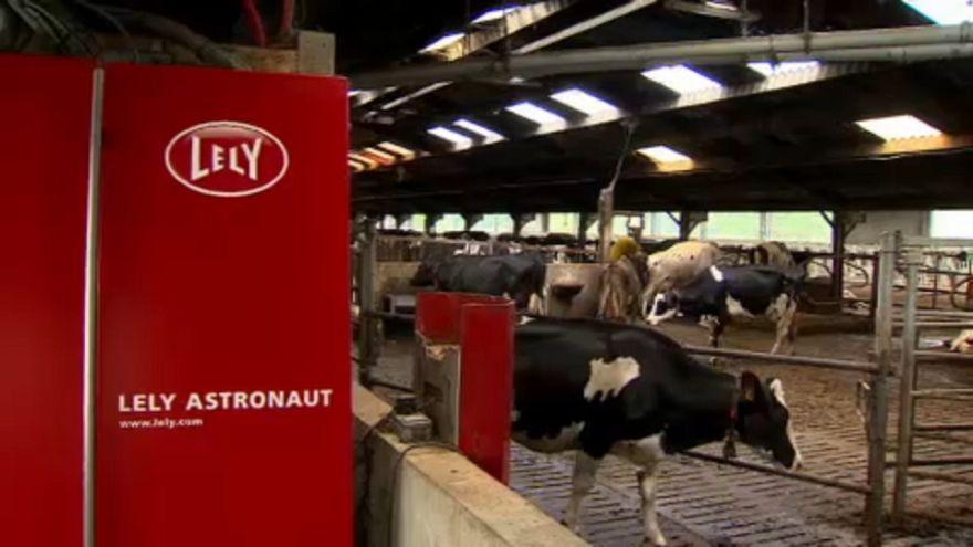 """Забота о скоте на """"умной"""" ферме в Бельгии"""