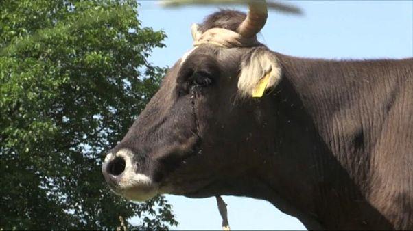 """البقرة """"بينكا"""" تواجه الإعدام بعد عبورها حدود الاتحاد الأوروبي بشكل غير قانوني"""