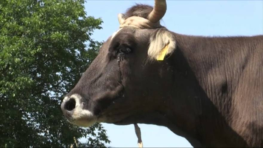 Penka, la vaca condenada a muerte por no saber de fronteras
