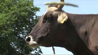 Határsértésért ölhetnek meg egy tehenet Bulgáriában