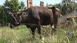Vaca búlgara condenada por pular a cerca