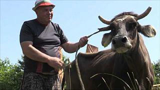 Le leggi Ue condannano a morte Penka, la mucca 'clandestina'