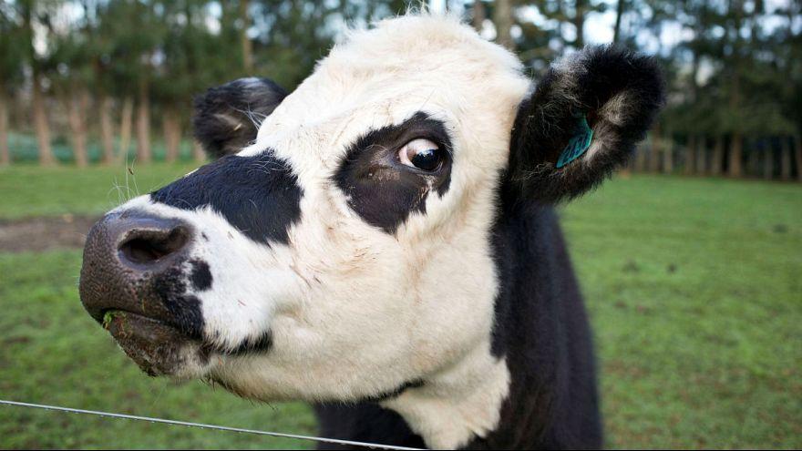 حکم مرگ برای گاوی که بدون اجازه از مرز عبور کرد