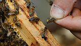 Rekordszámban pusztulnak a méhek Franciaországban