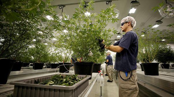 Kanada lehet az első G7-ország, ahol legalizálják a marihuánát