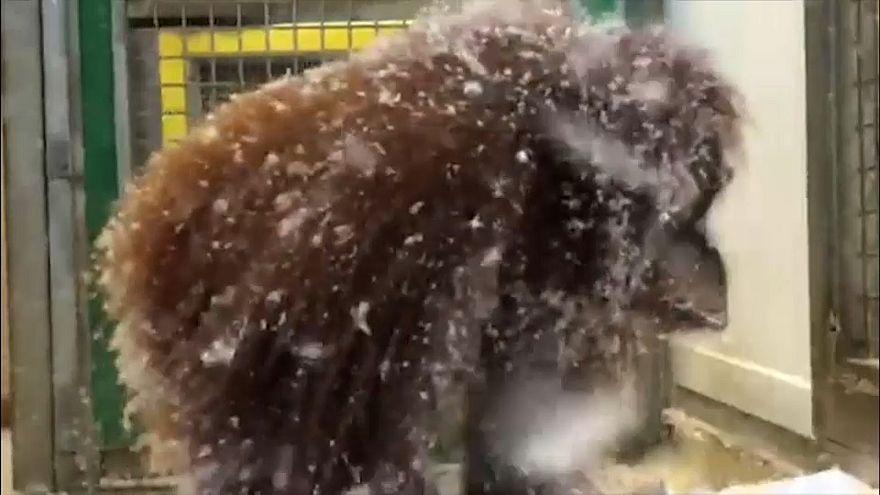 В пух и прах, или обезьянья забава