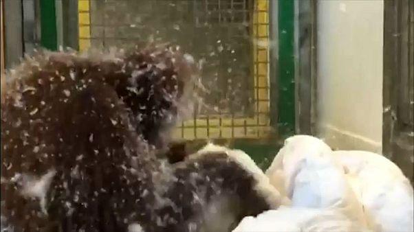 جشن «بالش» اورانگوتان در باغ وحش