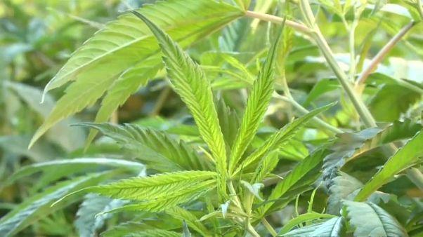 Canadá, cada vez más cerca de legalizar la marihuana