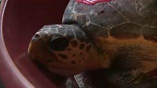 Visszatérhettek a tengerbe a horvát teknősök