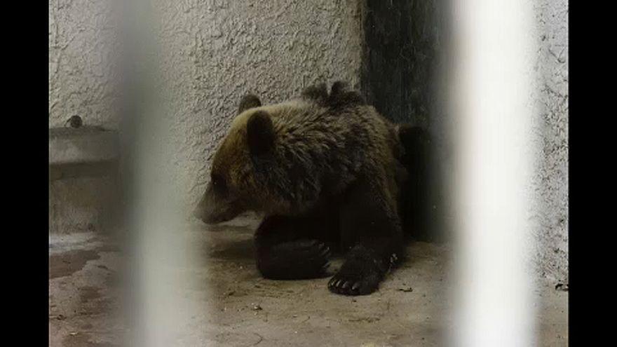 Medveházban gondozzák az elkóborolt medvét