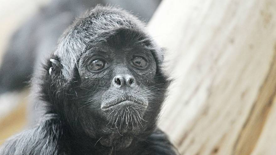 Escaped Belfast Zoo monkey dies after being clipped by a car