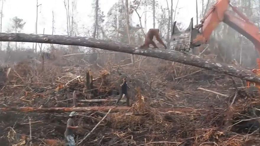 Yaşam alanını savunan orangutan iş makinesine saldırdı