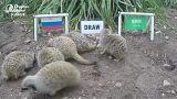 Fußball-WM Russland: Erdmännchen tippen auf Sieg für Gastgeber im Eröffnungsspiel