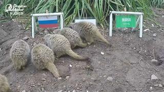 Сурикаты предсказывают России победу в первом матче