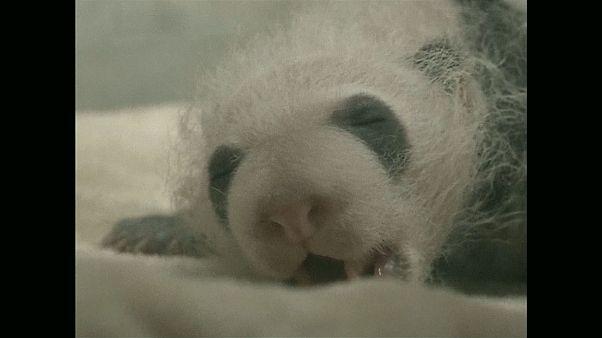 В Китае представили две пары панд-близнецов