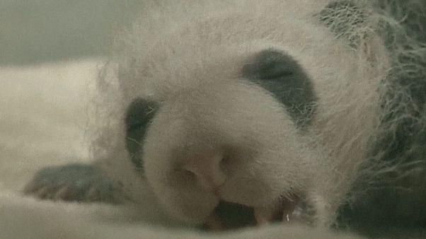 Nasceu na China o primeiro casal de pandas gémeos do ano