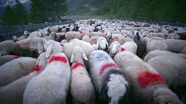 رحلة 1500 خروف من إيطاليا إلى النمسا عبر الألب