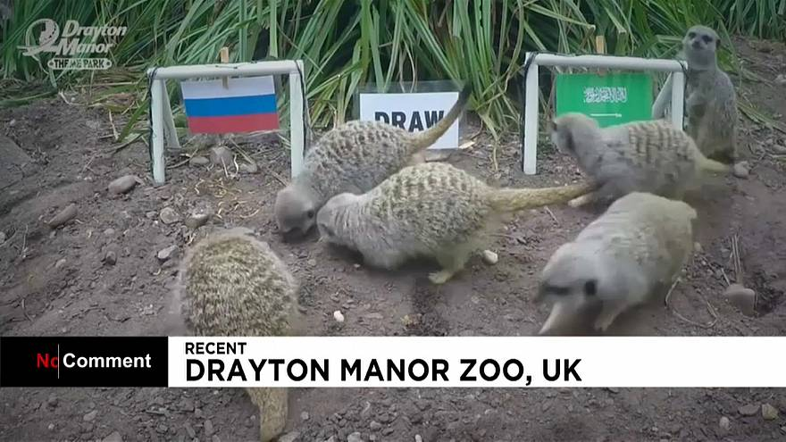 Coupe du monde de football : des suricates jouent les pronostiqueurs