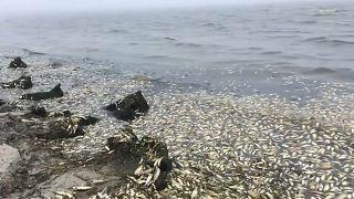 Массовая гибель сельди на Сахалине