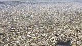 Mort massive de harengs aux confins de la Russie