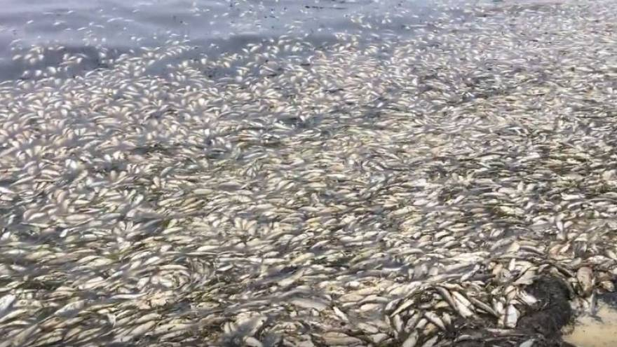 Hundreds of tons of dead herring wash up on Russian coast