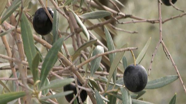 Del acero a la aceituna: el mazazo de Trump al sector olivarero español