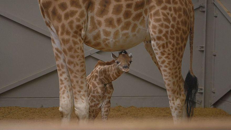 """Babygiraffe mit Namen """"Giraffe"""""""