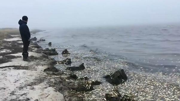 روسيا تحاول الكشف عن لغز نفوق أطنان من أسماك الرنجة بالقرب من سواحلها