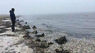 مرگ دستهجمعی ماهیها در خلیج پیلتون روسیه
