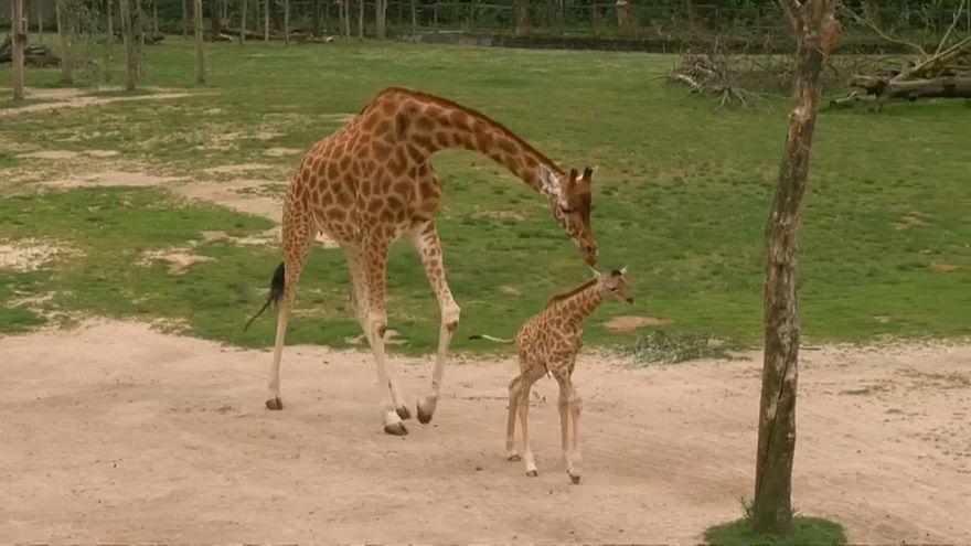Jardim zoológico belga dá boas-vindas a girafa bebé