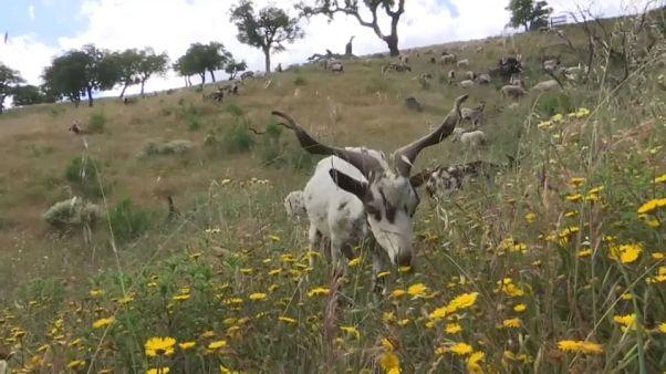 """Las """"cabras bombero"""" se estrenan en Portugal"""