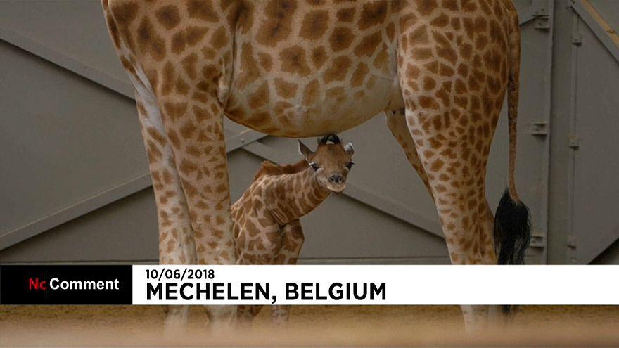 Belgique : Barbie la girafe a donné naissance à un petit Twiga