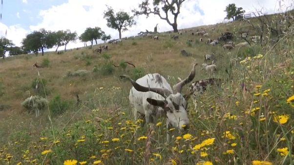 Le Portugal embauche des chèvres pour lutter contre les incendies
